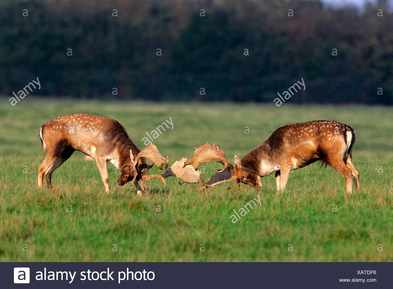 Fighting fallow deers during the rut - males (Cervus dama) (Dama dama) Stock Photo
