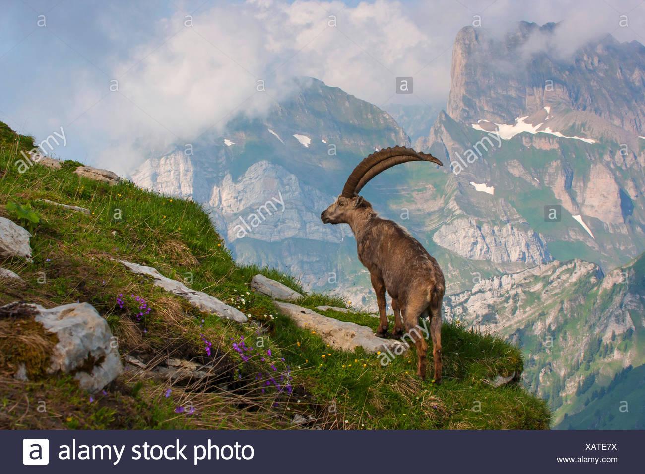 Alpine ibex (Capra ibex, Capra ibex ibex), male on the lookout, Switzerland, Toggenburg, Chaeserrugg - Stock Image