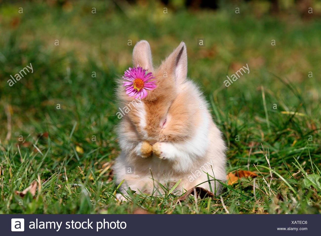 Lion-headed Dwarf rabbit. Young sitting on a meadow, grooming while wearing a pink flower on its head. Germany Stock Photo