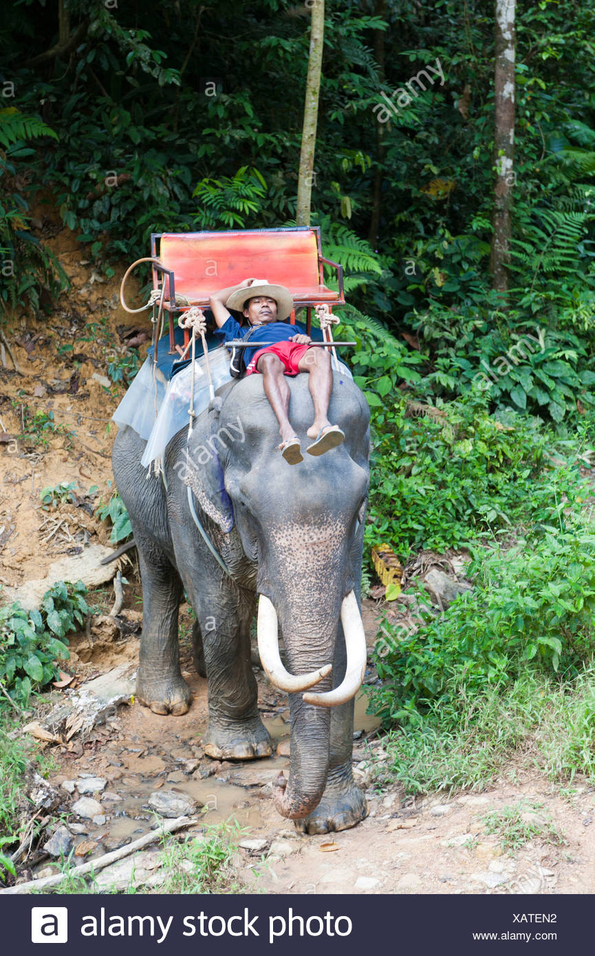 Elephant safari, Thai man asleep, Mahout, sleeping on the head of an elephant, Win Elephant Riding, beim Kao Sok Nationalpark - Stock Image
