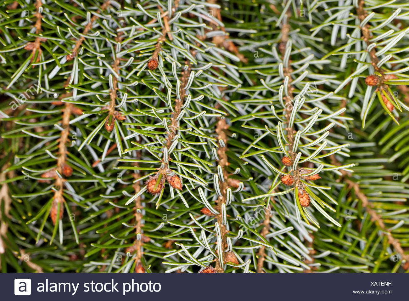 Serbian Spruce (Picea omorika), branches - Stock Image