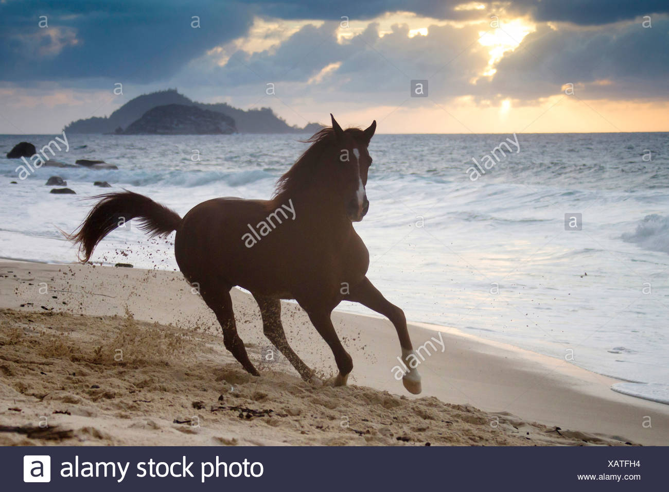 Arabian Horse Stallion Tyfoon gallop tropical beach at sunset Seychelles - Stock Image