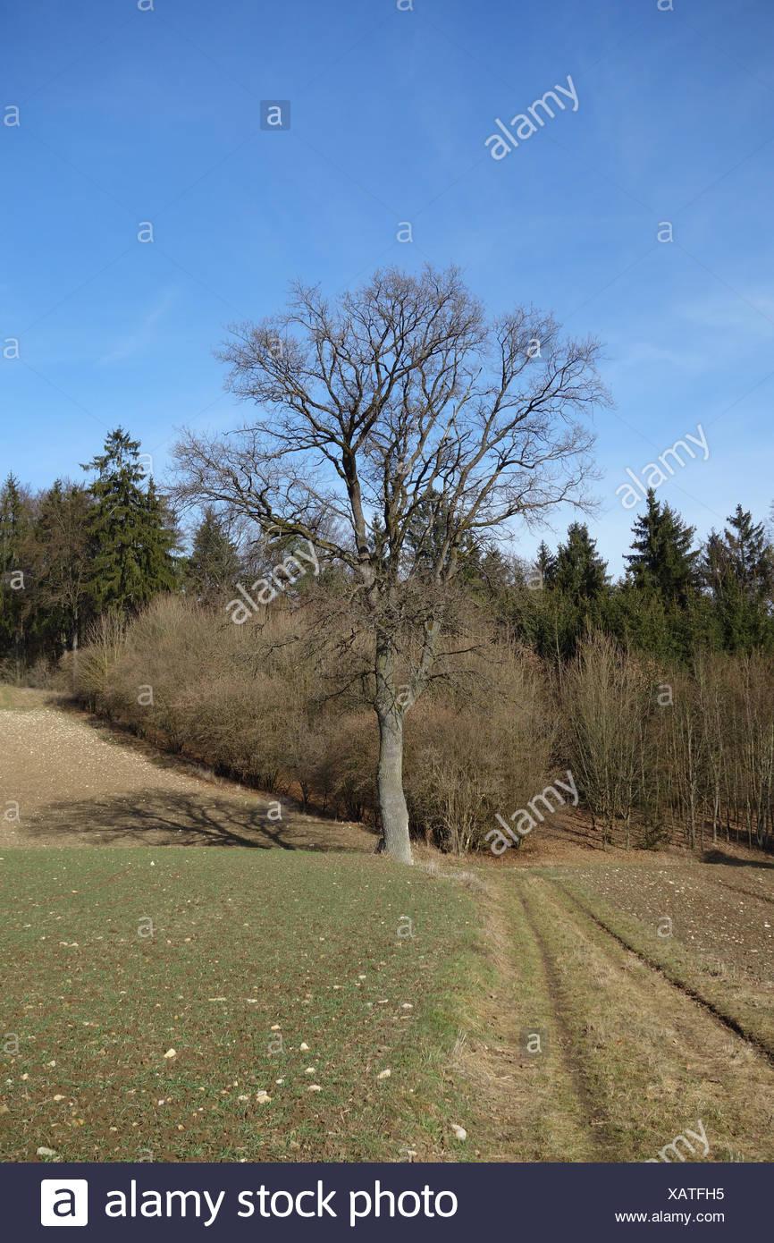 Quercus robur, German Oak - Stock Image