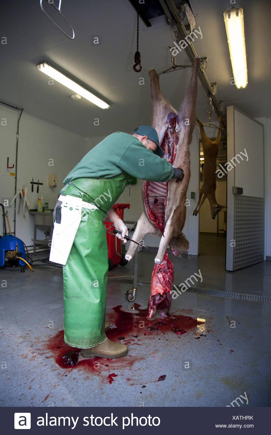 red deer (Cervus elaphus), deer stalker butchering and processing red deer hind as part of controlled cull, United Kingdom, Scotland, Glenfeshie - Stock Image