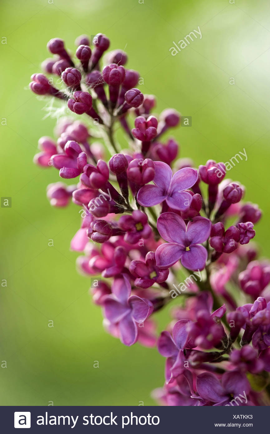 common lilac (Syringa vulgaris), twig with reddish blossoms, Germany - Stock Image