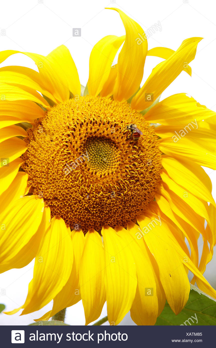 A bumble bee also known as bumblebee Genus Bombus on sunflower Helianthus annuus - Stock Image
