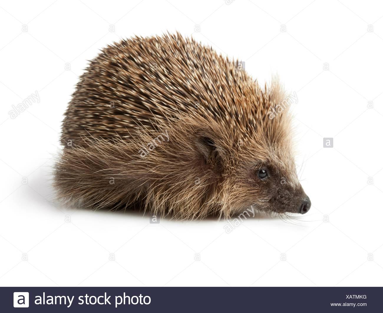 Single hedgehog on white background. - Stock Image