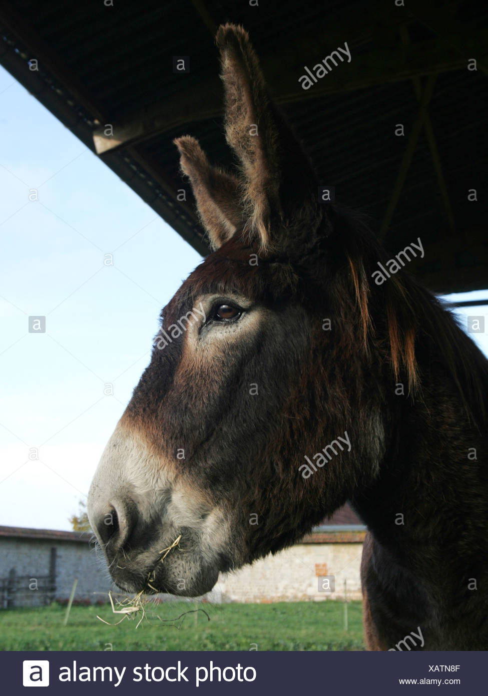 A close-up of a donkeys head, at a farm. Stock Photo