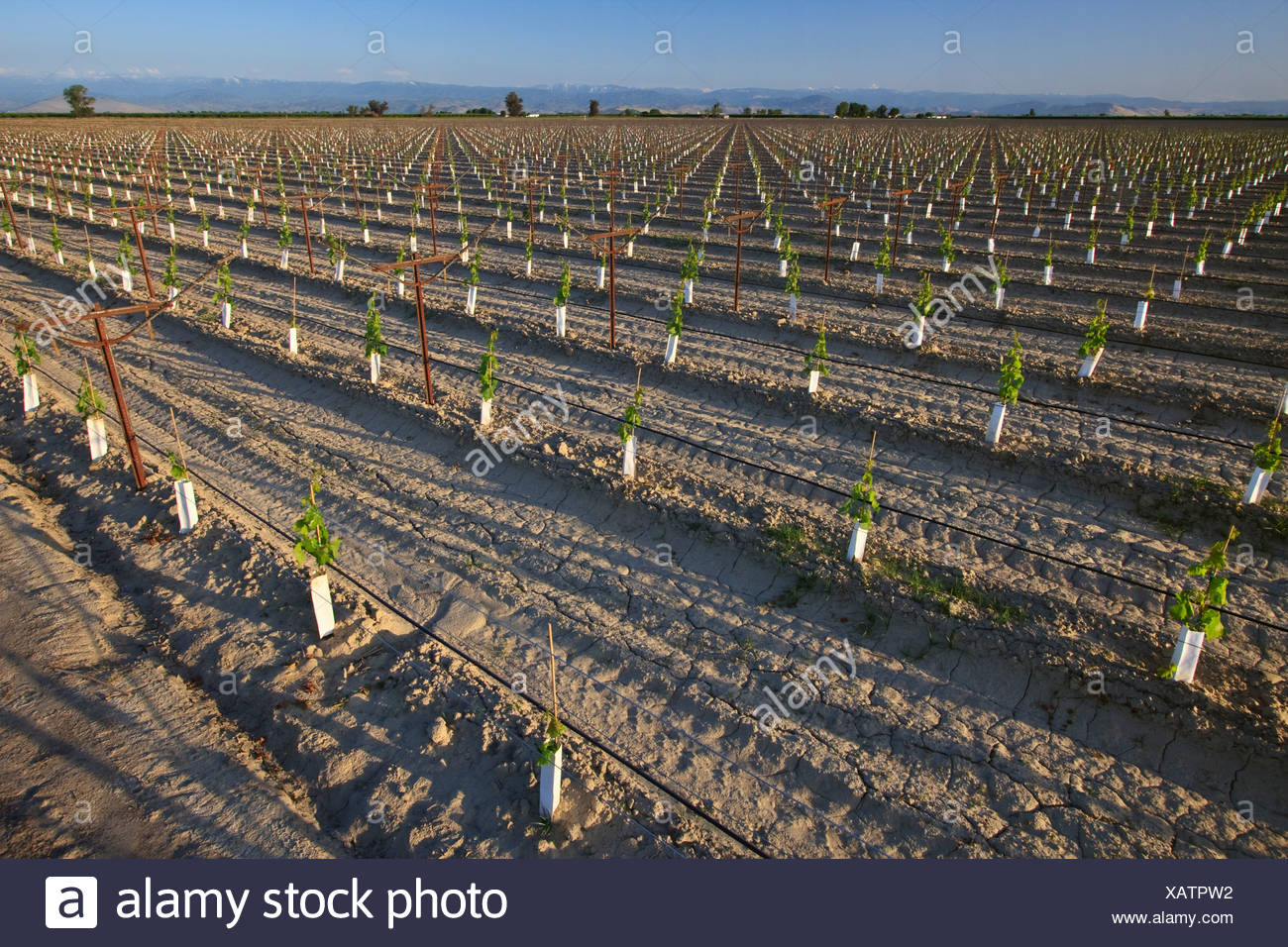 Agriculture - A young table grape vineyard utilizing an overhead trellis system, drip irrigation and planting sleeves / Calif. - Stock Image