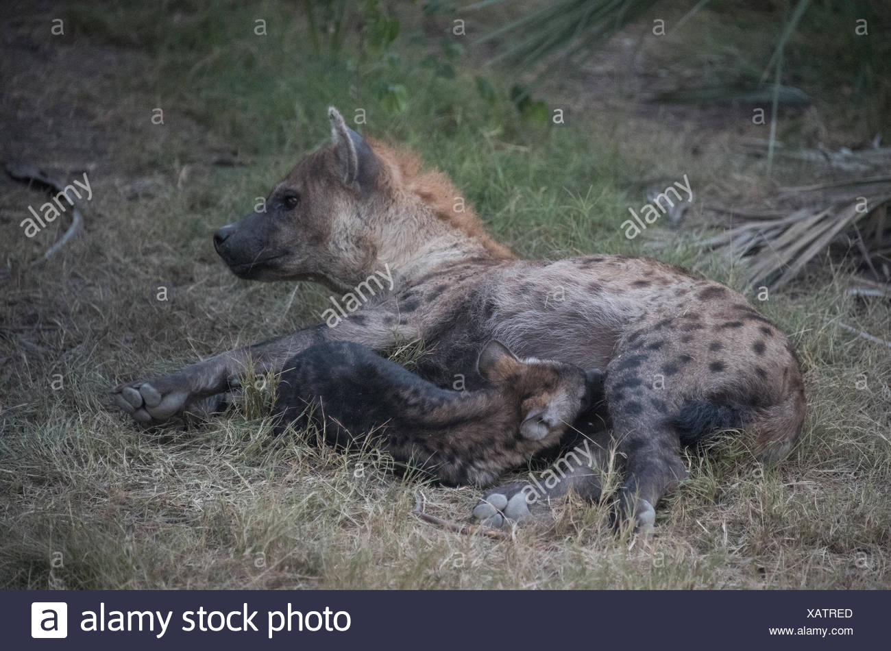 A spotted hyena nursing her cub. - Stock Image