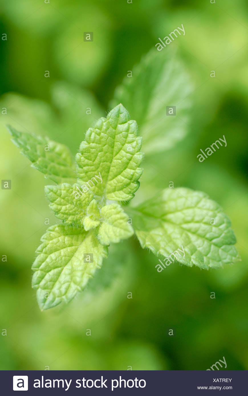 Lemon Balm (Melissa officinalis) leaves Stock Photo