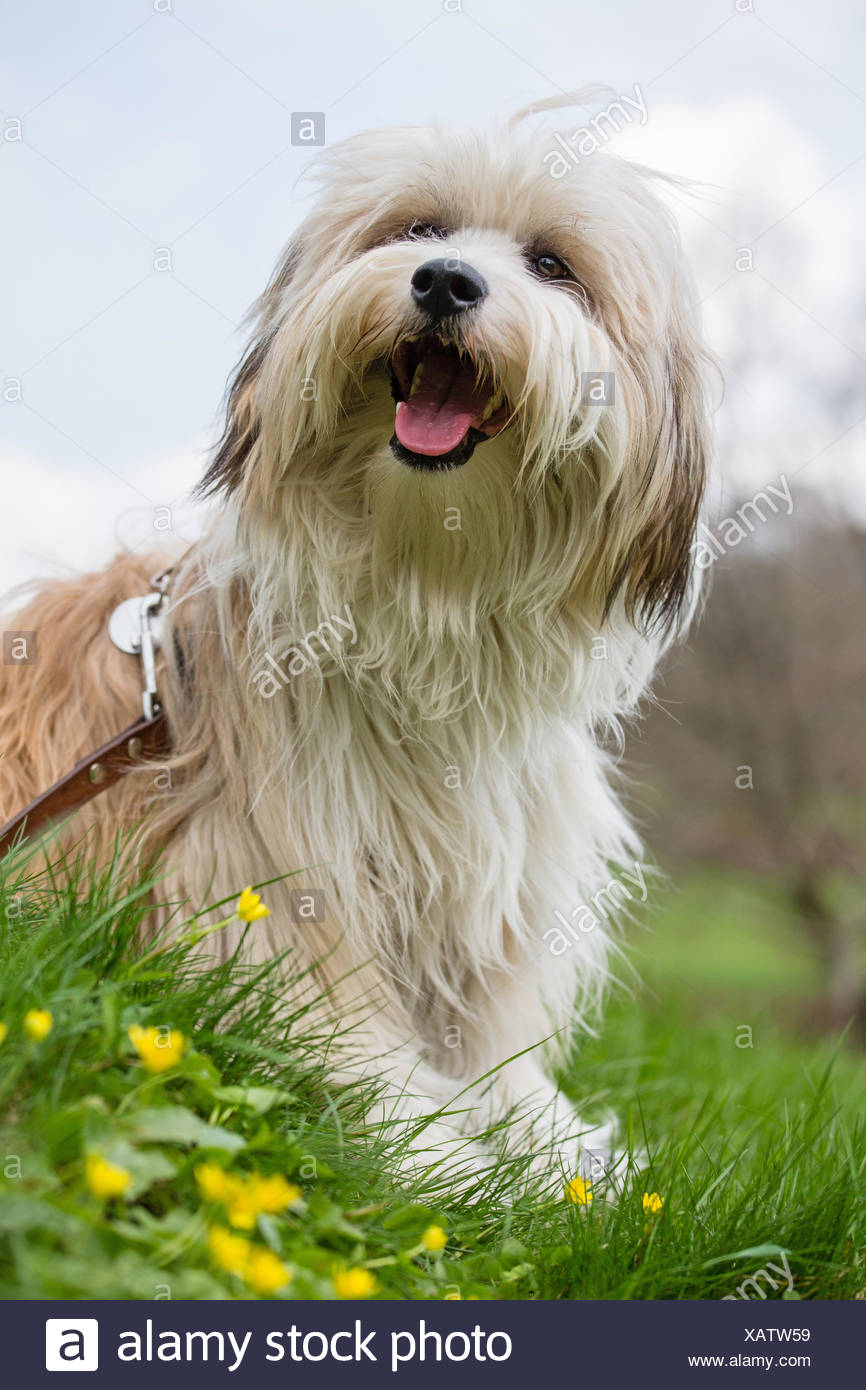 Tibetan Terrier, Tsang Apso, Dokhi Apso (Canis lupus f. familiaris), ten month old bright sable and white male sitting in a meadow, Germany - Stock Image