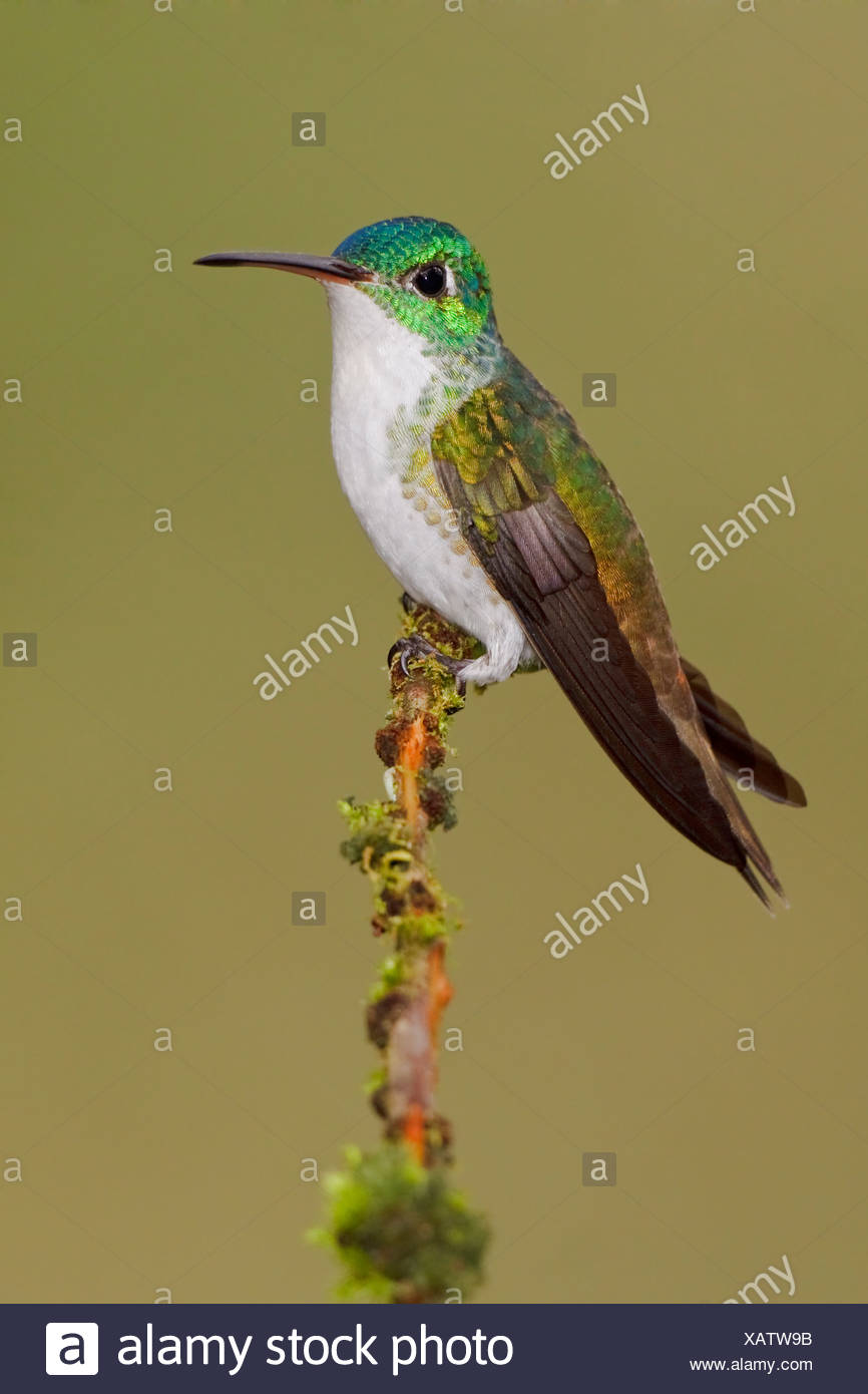 Andean Emerald hummingbird (Amazilia franciae) perched on a branch in the Tandayapa Valley of Ecuador. - Stock Image