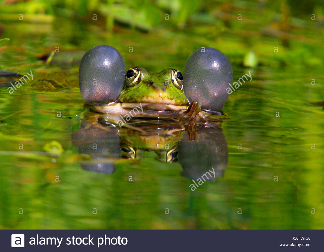 European edible frog, common edible frog (Rana kl. esculenta, Rana esculenta, Pelophylax esculentus), with vocal sacs and mirror image, Germany - Stock Image