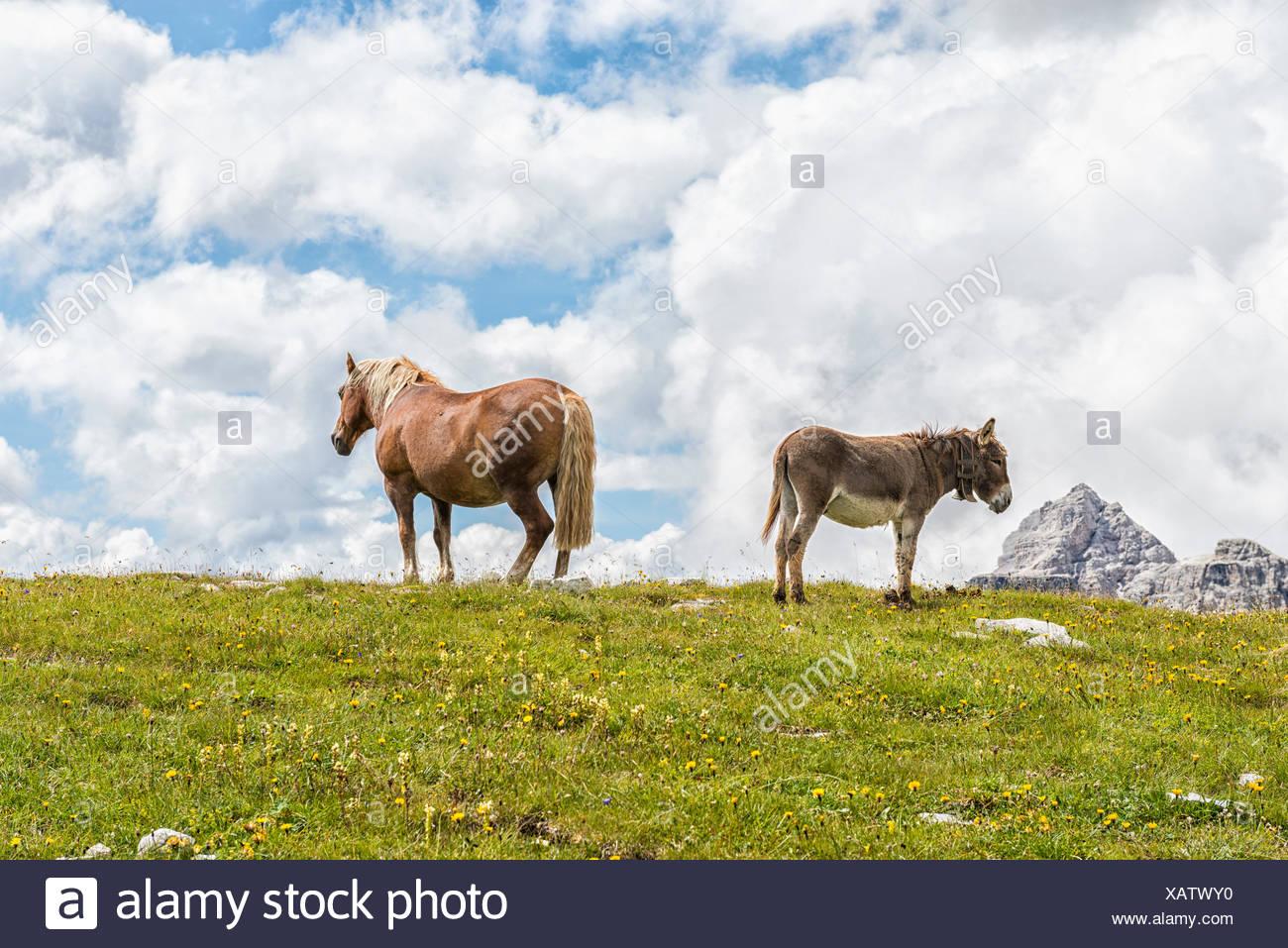 Horse and donkey graze on the lawns near Lavaredo refuge, Veneto, Dolomites, Italy, Europe. - Stock Image