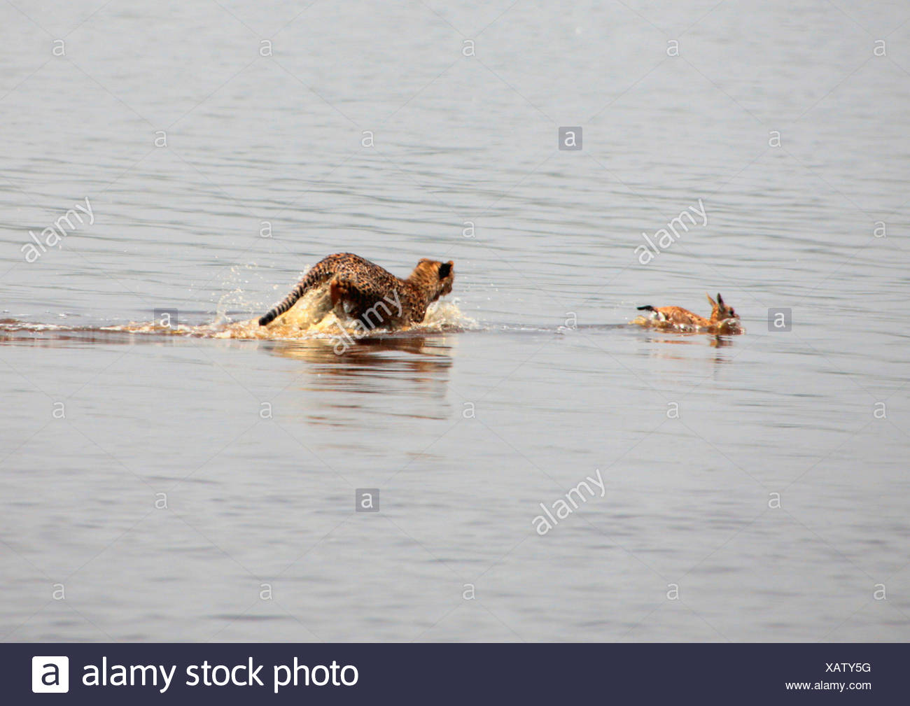 cheetah (Acinonyx jubatus), young animal hunting in the water, Tanzania, Serengeti National Park - Stock Image