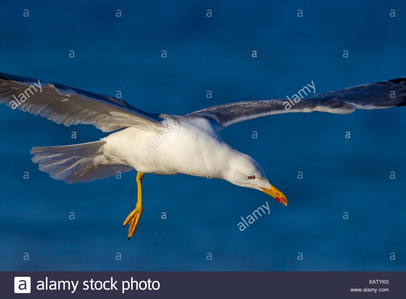 Yellow-legged Gull (Larus michahellis, Larus cachinnans michahellis), flying, Spain, Balearen, Majorca Stock Photo