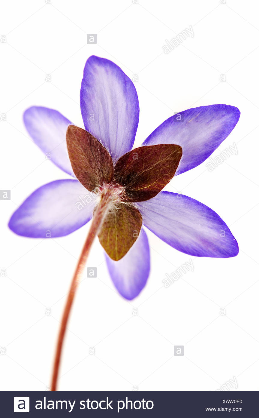 A flower against white background. Stock Photo