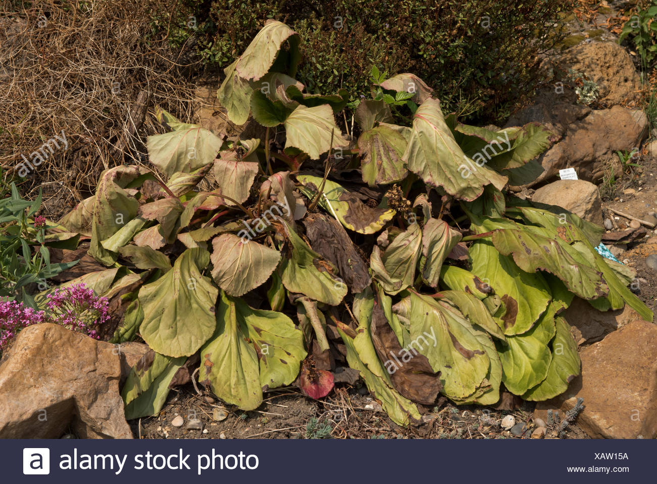 Large established Bergenia cordifolia dying after flowering - the cause is not knowm, Berkshire - Stock Image