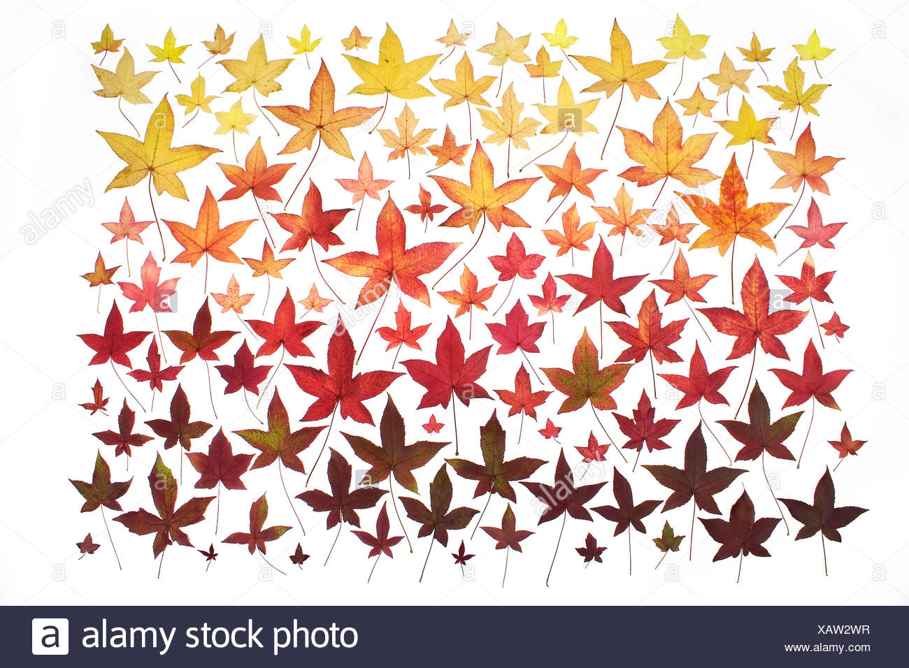 Collection of the different autumn coloured leaves from a single Sweetgum Tree (Liquidambar) - Stock Image