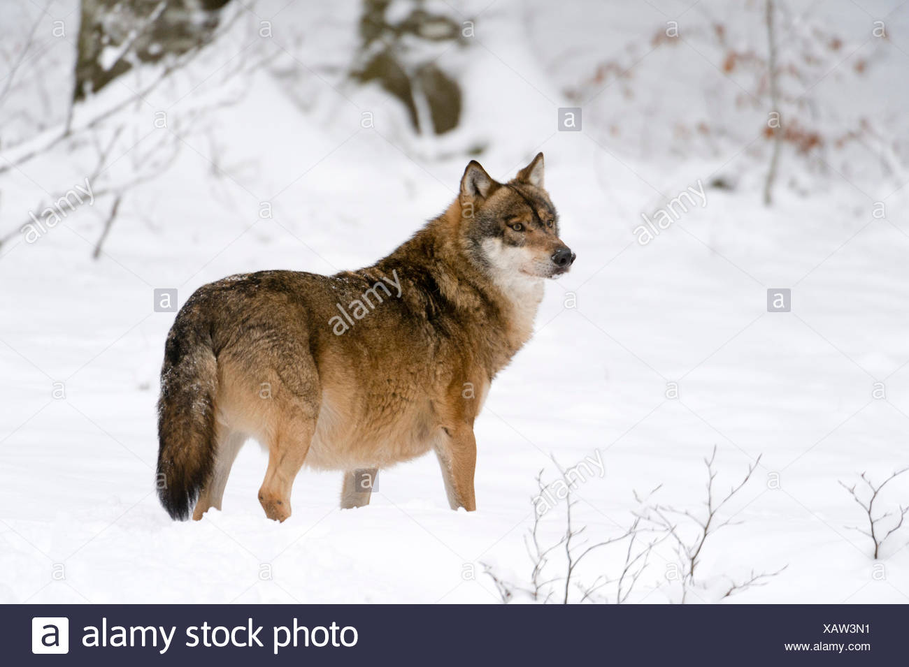 Gray wolf (Canis lupus), Bavarian Forest National Park, Bavaria, Germany - Stock Image