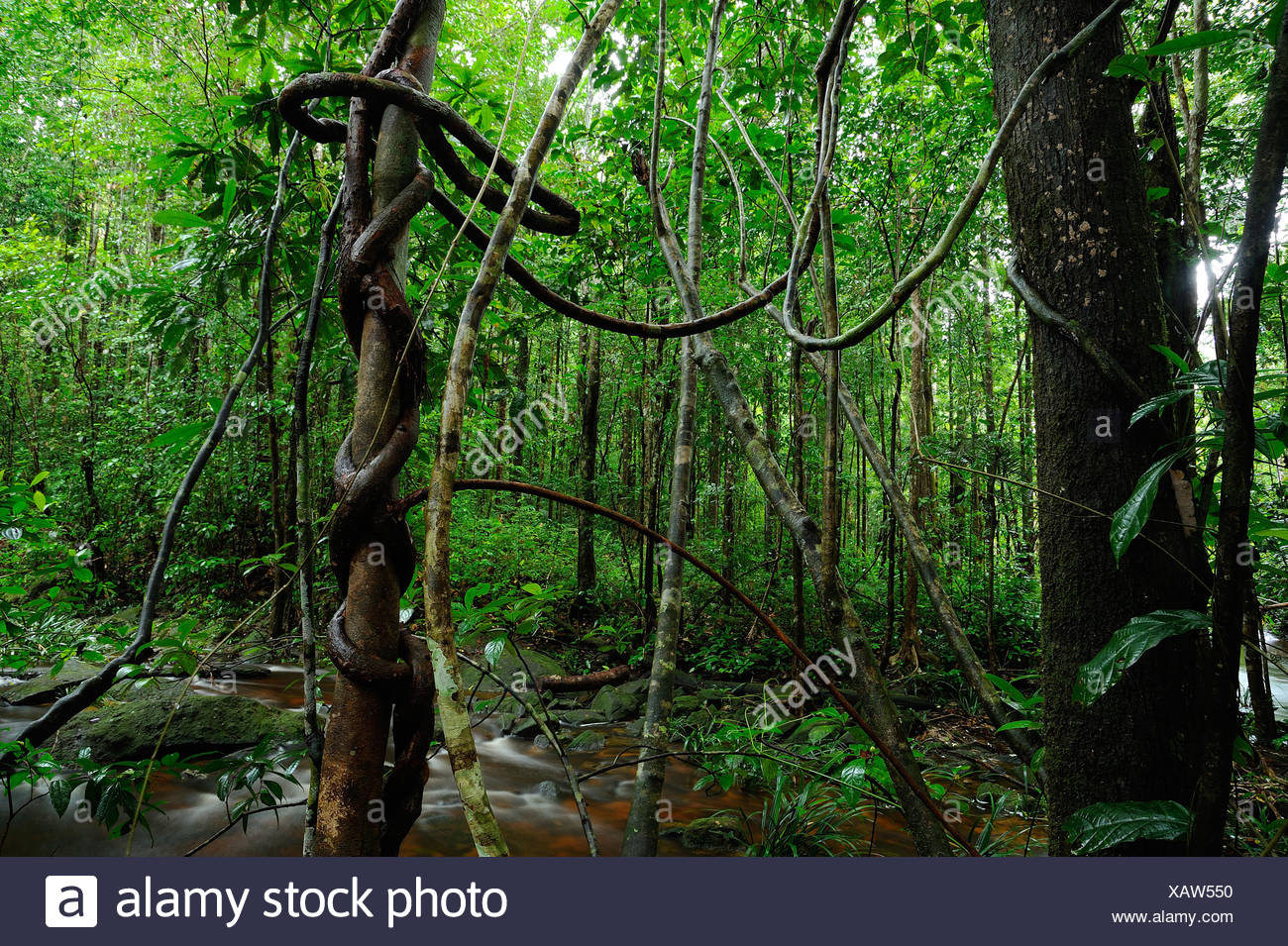 Lianas in undergrowth -Cirque des Cascades French Guiana - Stock Image