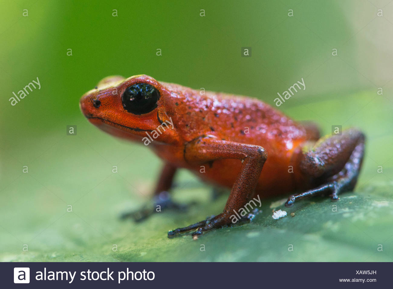 Strawberry poison-dart frog (Oophaga pumilio) sitting on leaf, Tortuguero National Park, Costa Rica - Stock Image