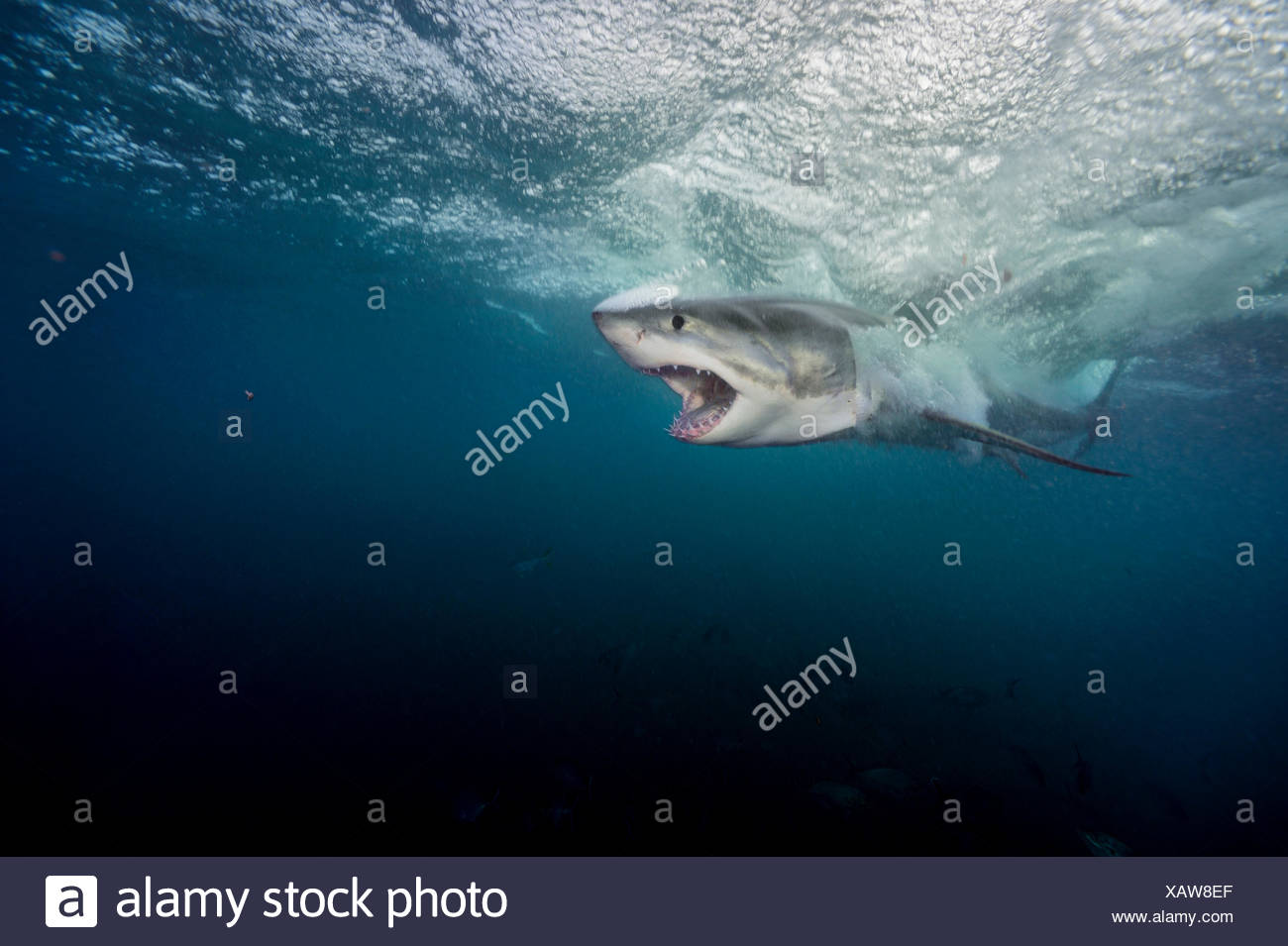 A large great white shark explodes through the water near the Neptune Islands. Stock Photo