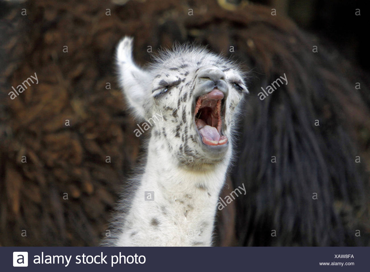llama (Lama glama), portrait of a yawning pup - Stock Image