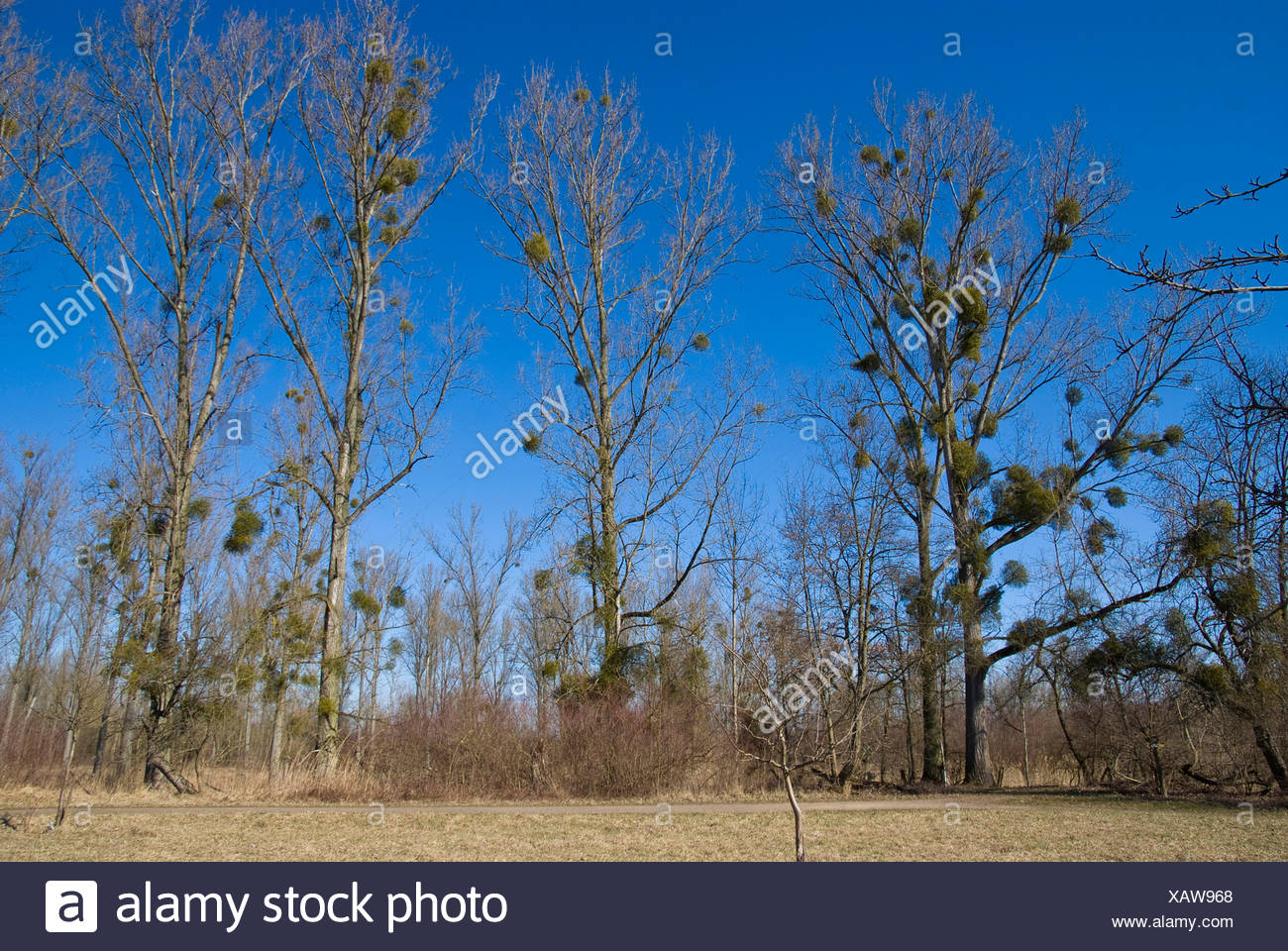 Canadian Poplar (Populus x canadensis), trees in winter with mistletoes, Visum album, Germany Stock Photo