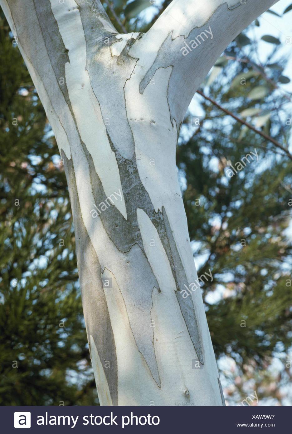 Eucalyptus pauciflora - ssp. niphophila AGM   TRS033854 - Stock Image
