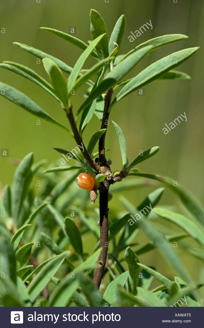 Alpine daphne (Daphne alpina), twig with leaves and fruit - Stock Image
