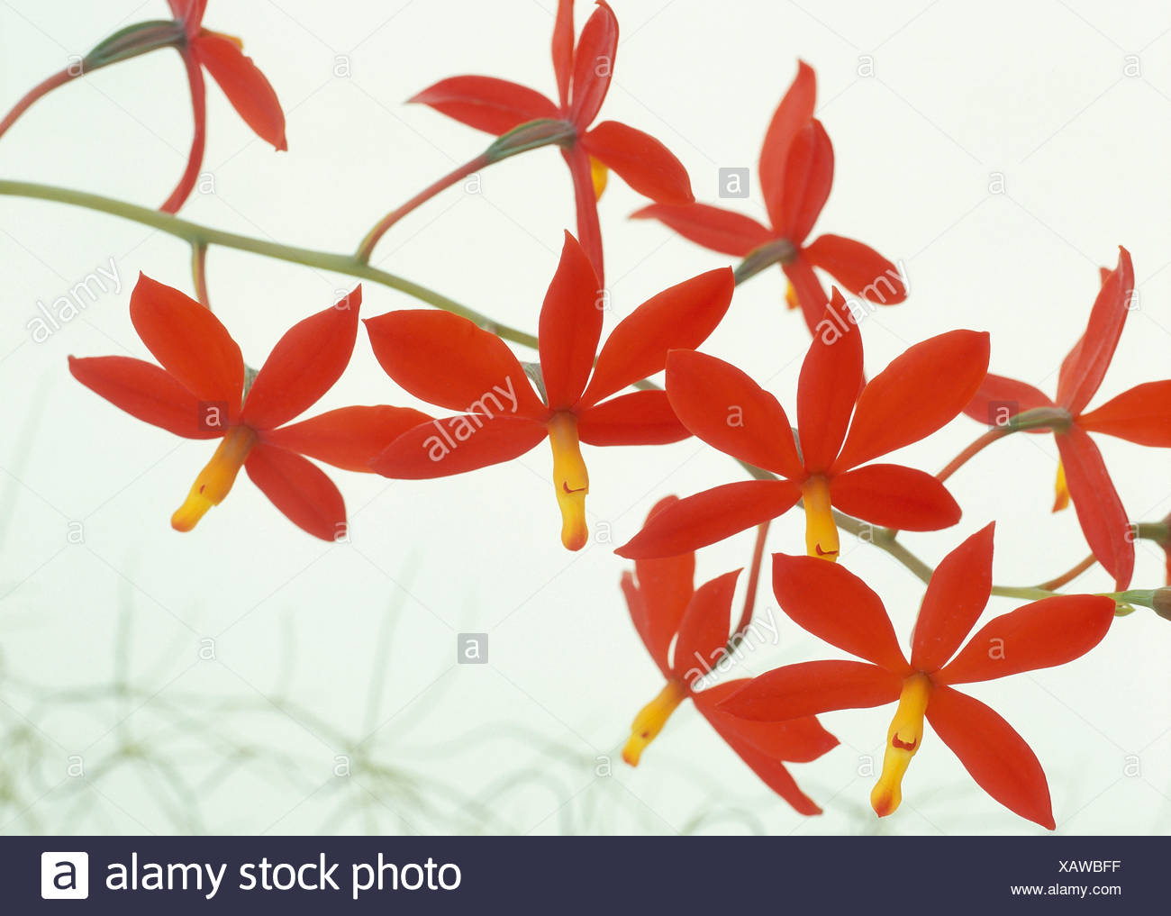 Peduncle with red orchid Stock Photo: 282070307 - Alamy