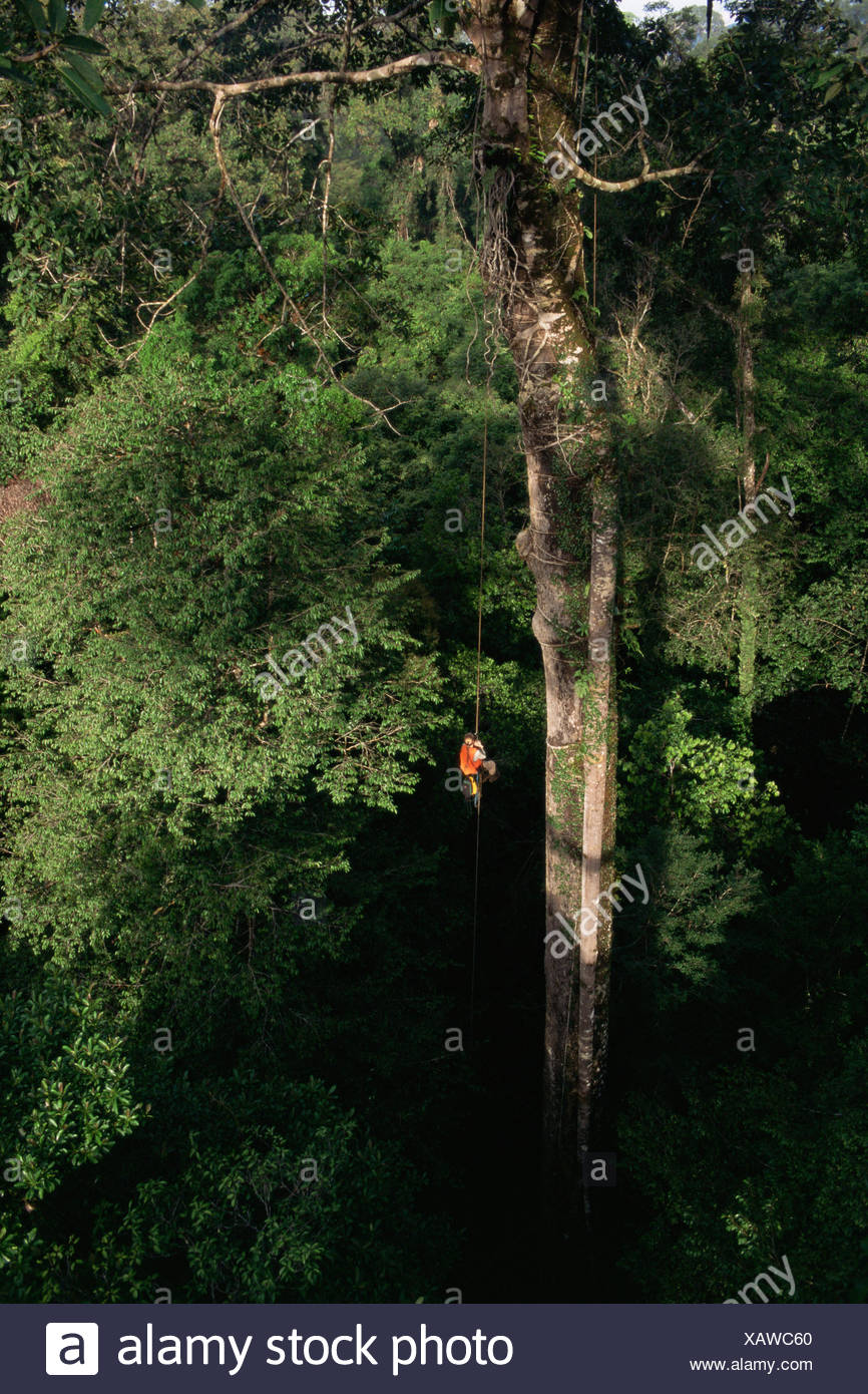 Orangutan researcher, Cheryl Knott, climbing rope into giant canopy tree with stranger fig tree roots growing down its side, Gunung Palung National Park, Borneo, West Kalimantan, Indonesia. - Stock Image