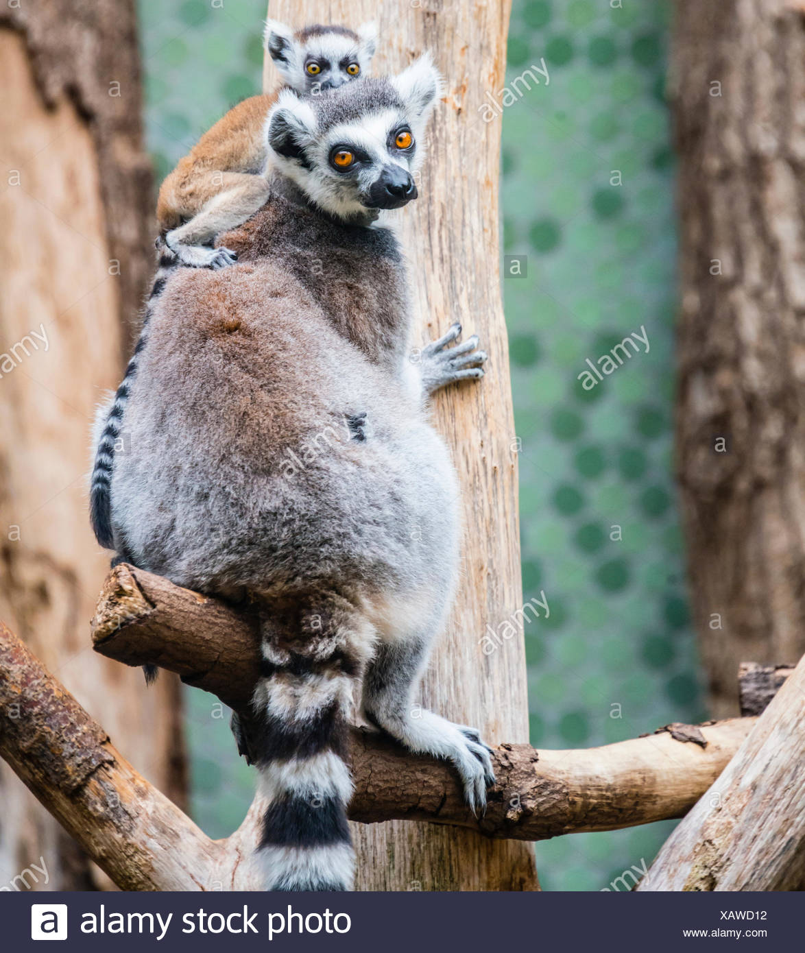 Ring-tailed Lemur (Lemur catta) with young, climbing, Hellabrunn Zoo, Munich, Upper Bavaria, Bavaria, Germany Stock Photo