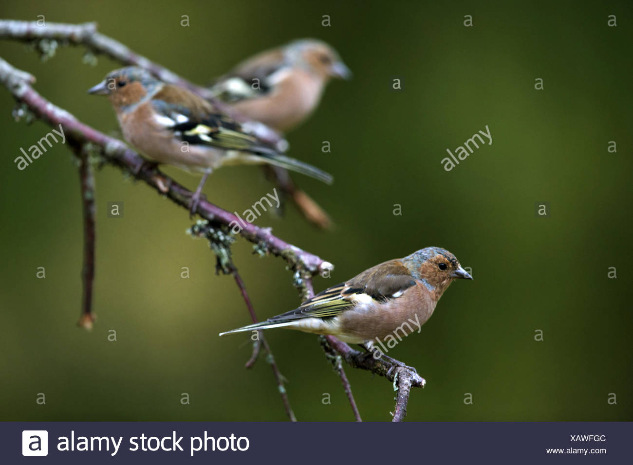 chaffinch (Fringilla coelebs), three chaffinches sitting on a twig, Sweden - Stock Image
