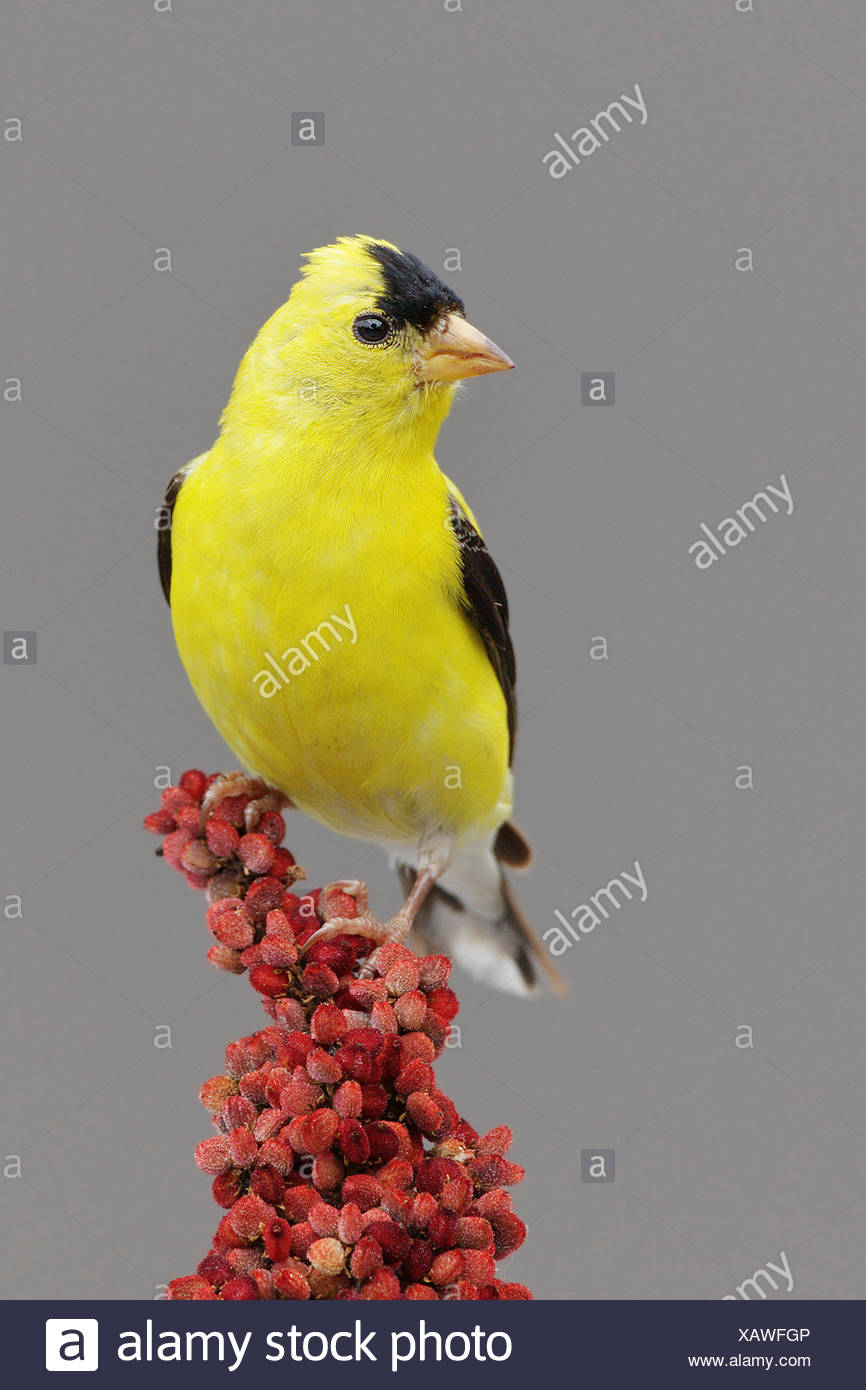 Eastern Goldfinch Stock Photos & Eastern Goldfinch Stock ...