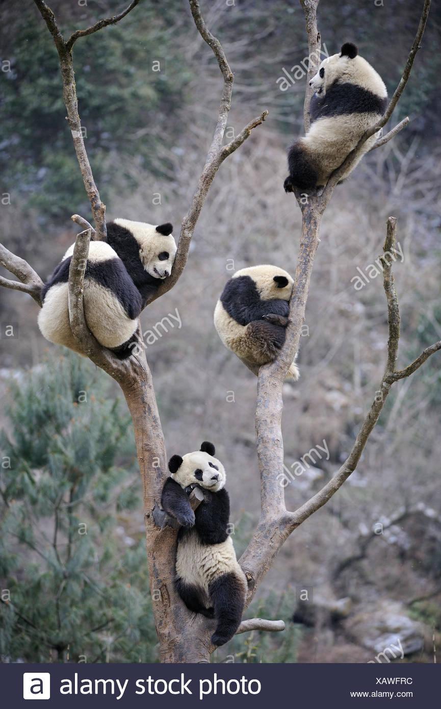 Five subadult giant pandas (Ailuropoda melanoleuca) climbing in tree. Wolong Nature Reserve, Wenchuan, Sichuan Province, China. - Stock Image