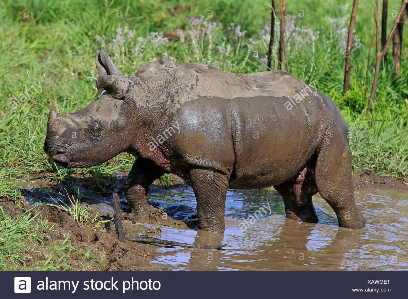 Wide-mouthed Rhinoceros, young after having mudbath, Sabi Sabi Game Reserve, Kruger national park, South Africa / - Stock Image