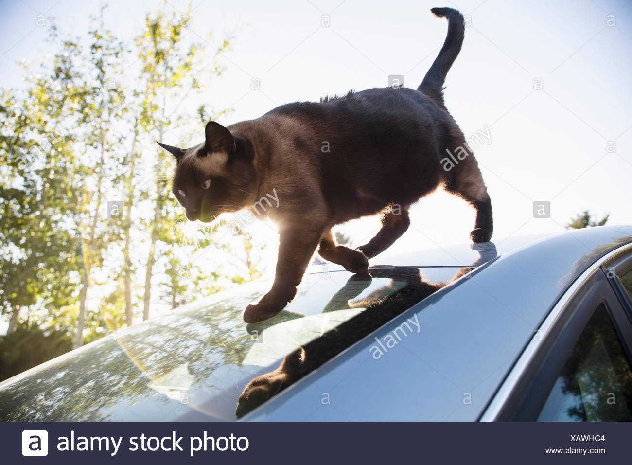 Cat on car roof - Stock Image