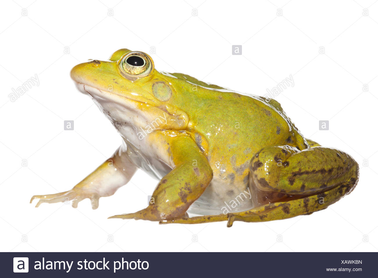 Pool frog isolated on white background - Stock Image