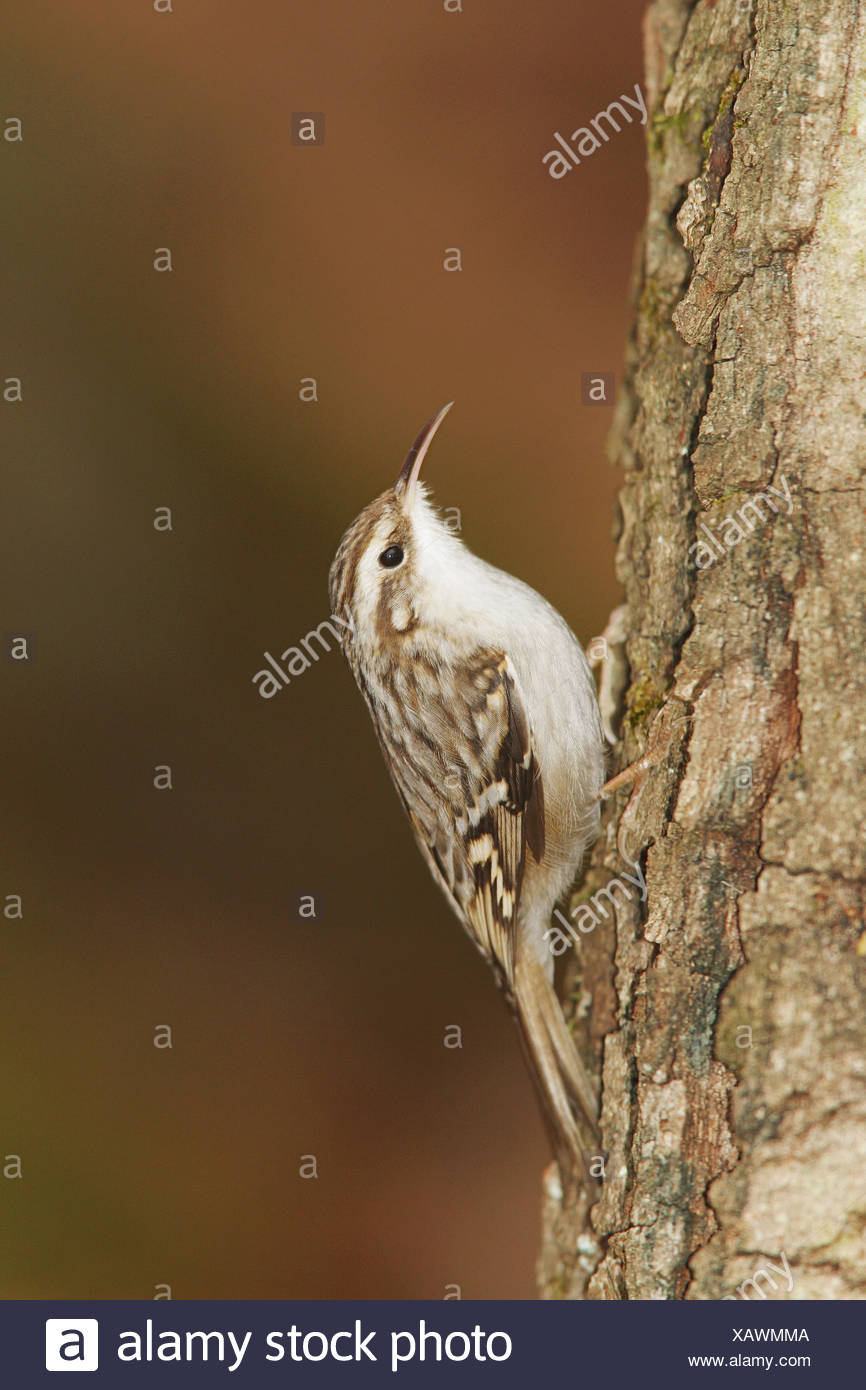 Short-toed Treecreeper / Certhia brachydactyla - Stock Image
