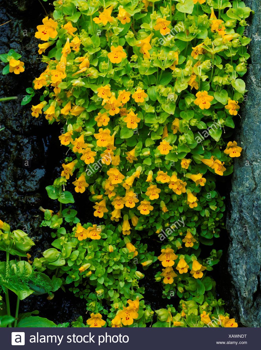 Yellow Monkey Flower Mimulus Guttatus Growing Seep On Cliff Summit