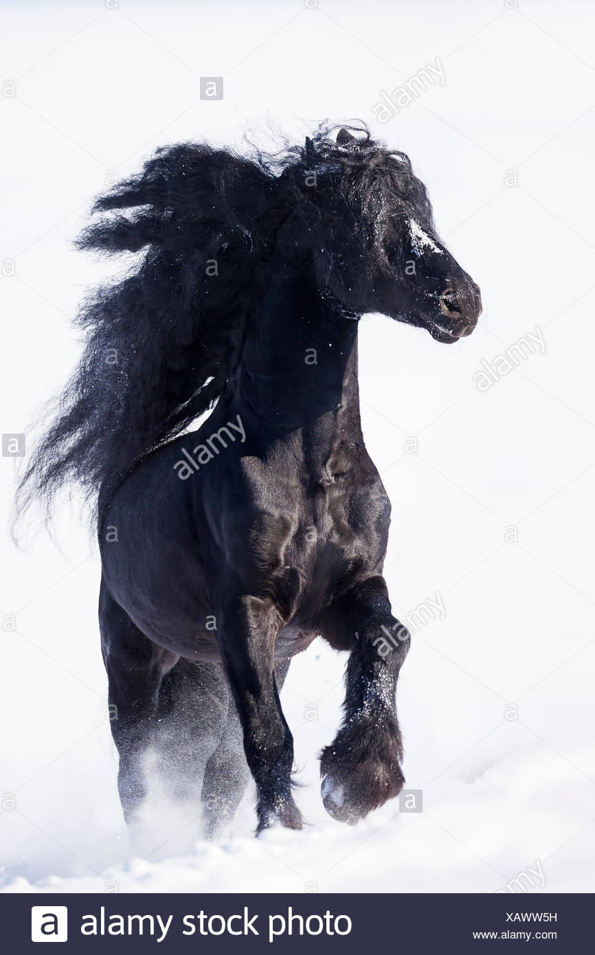 Friesian Horse Black Stallion Galloping In Snow Germany Stock Photo Alamy