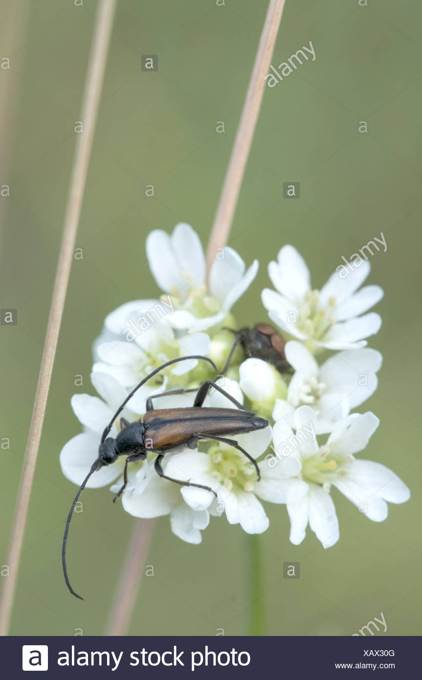 Longhorn Beetle (Stenurella melanura) - Stock Image