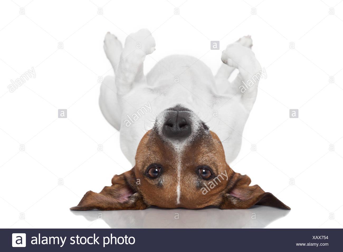 dog  laying upside down - Stock Image