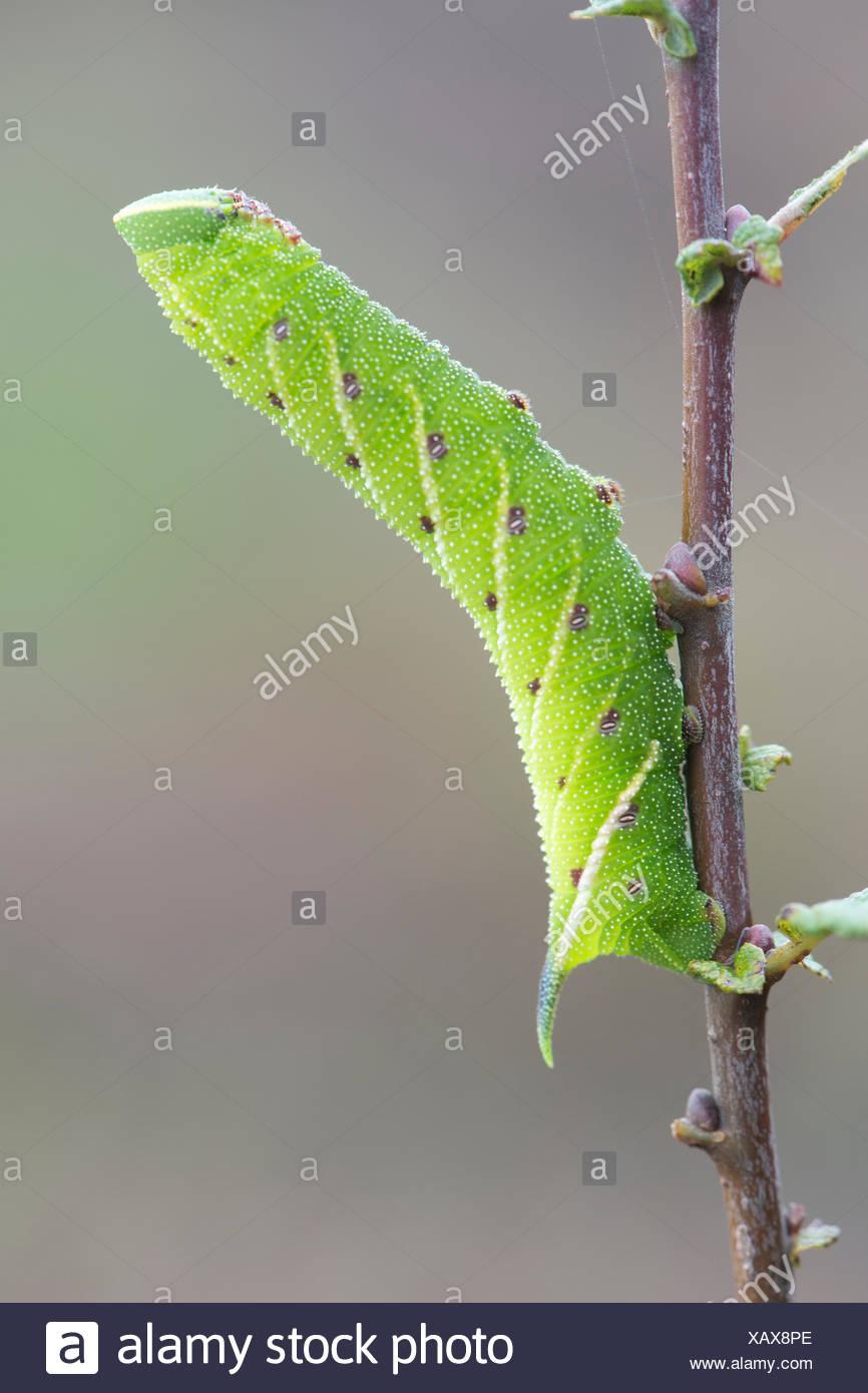 Eyed hawk-moth (Smerinthus ocellata) caterpillar, Lower Saxony, Germany Stock Photo