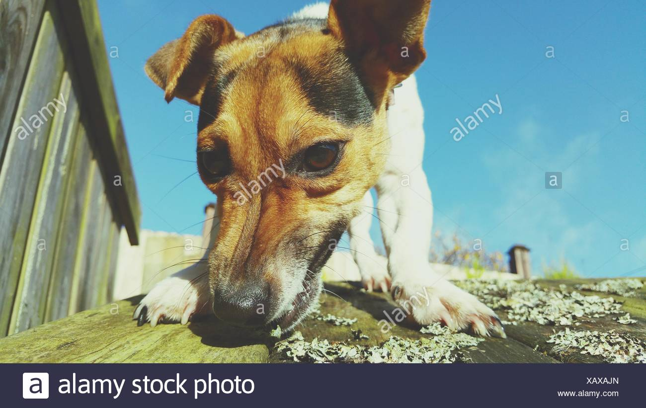 Close-Up Of Jack Russell Terrier On Wooden Planks - Stock Image