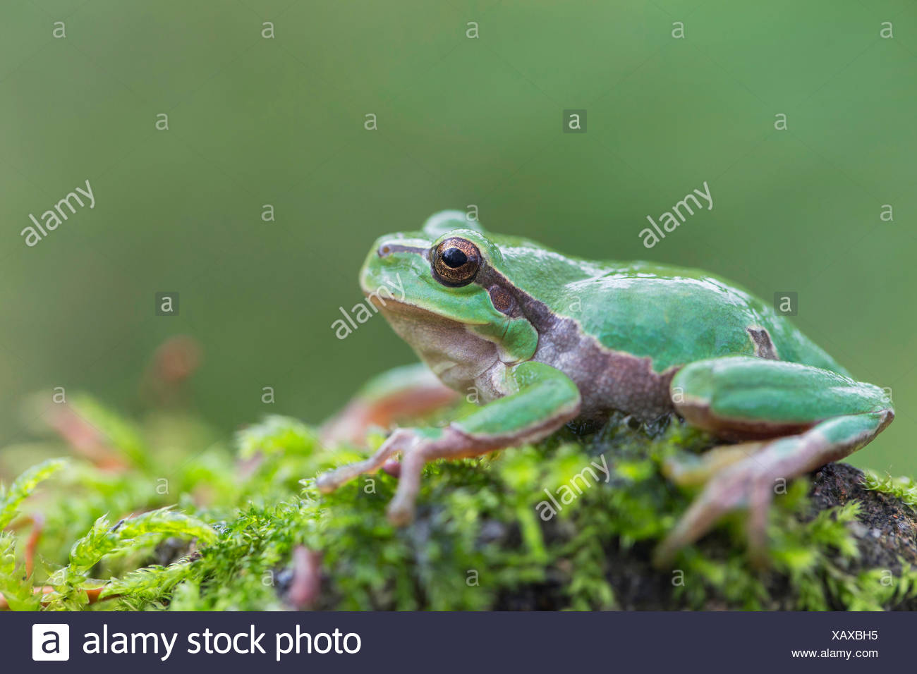 European treefrog, common treefrog, Central European treefrog (Hyla arborea), sitting on a moss cushion, side view, Germany, Bavaria - Stock Image