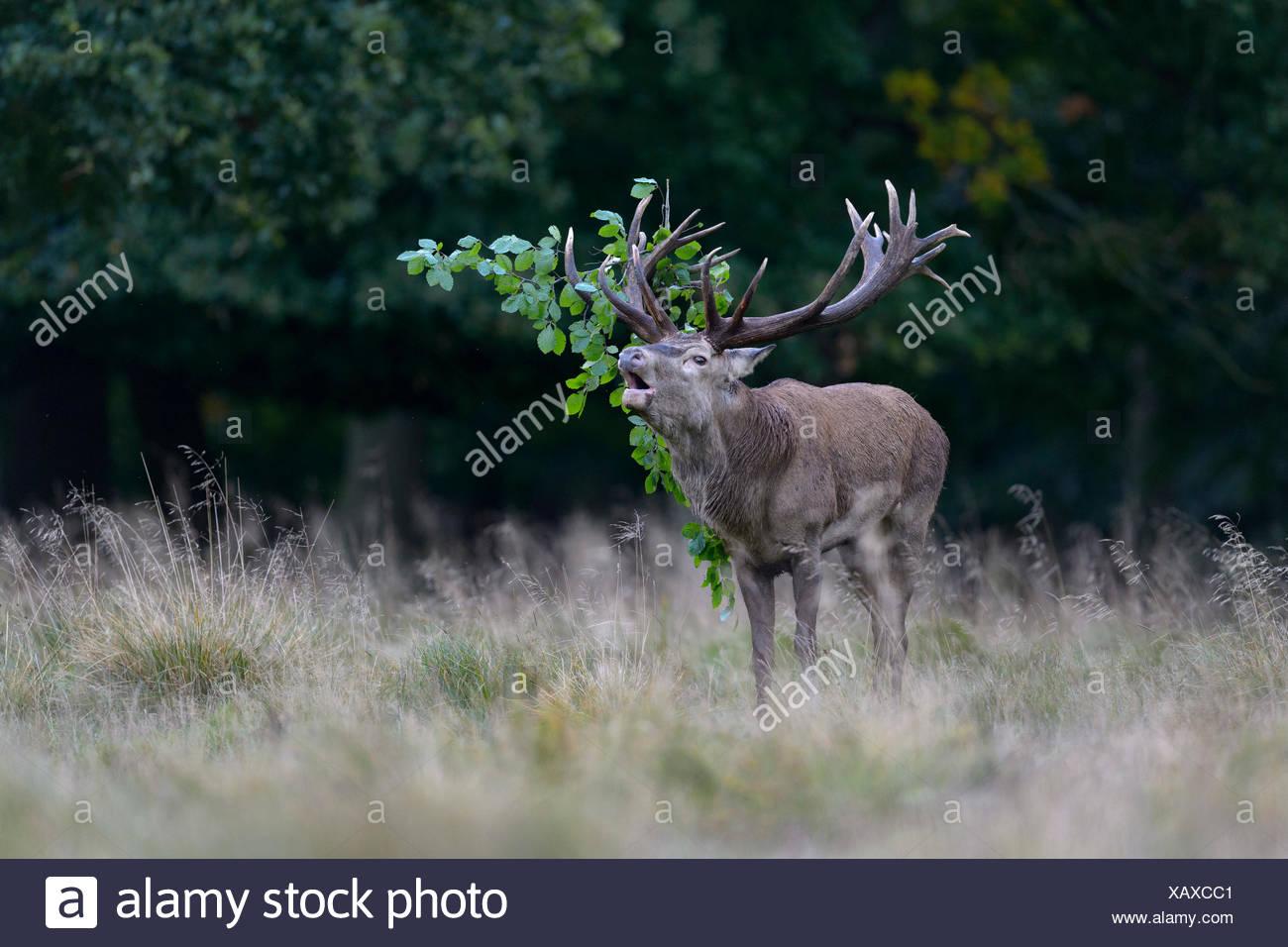 Red deer (Cervus elaphus), roaring, capital stag with foliage in the antler, Imponierge, Platzhirsch, Zealand, Denmark - Stock Image